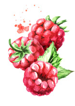 Falling Ripe Berries Raspberry, Vertical Composition. Watercolor Hand Drawn Illustration, Isolated On White Background
