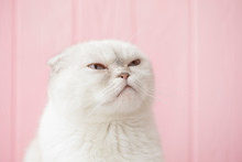 Serious Cat Head On In Studio. White Cat With Blue Eyes Trying To Sleep
