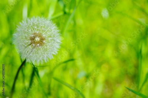 biały puszysty mniszek lekarski na tle barwnych traw