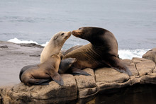 Sea Lion Family Sitting On The Rocks - La Jolla, San Diego, California.