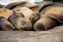Baby Sea Lion Pups Sleeping On The Rocks