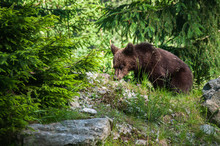 Brown Bear Cub In Romanian For...