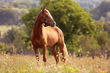 Brown Horse Welsh Pony Standing In High Grass By Sunset