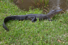 Alligator On Grass Next To Swa...