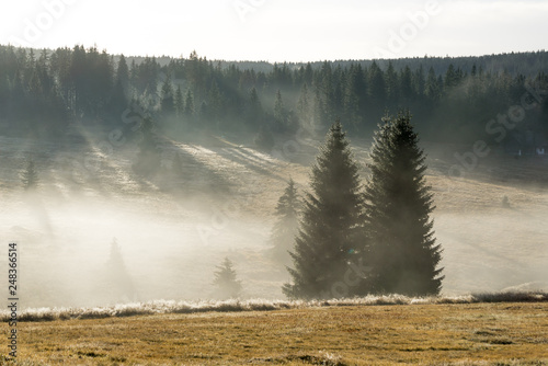 Fotografia  Coniferous trees in the early morning light on a misty autumn day