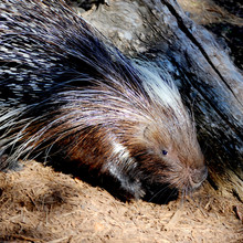 This African Crested Porcupine...