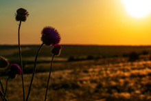 Blooming Bush Thistle On The Background Of The Sunset Sky.