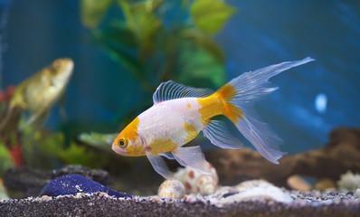 Złota rybka w niebieskiej wodzie akwariowej