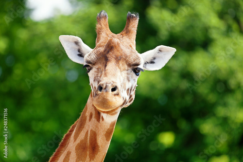 Tuinposter Giraffe Close-up of a giraffe in front of some green trees, looking at the camera as if to say You looking at me? With space for text.