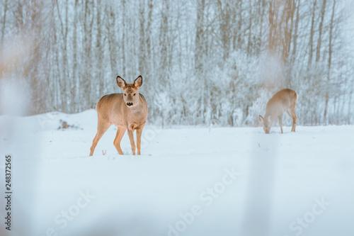Plakat Młody jeleń z brązowym futrem szuka jedzenia na snowy polu z lasem w tle. Wstrząśnięty wyraz twarzy patrząc prosto. Bucks biegają po polu tworząc malowniczy zimowy krajobraz