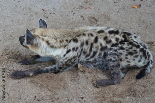 Plakat Dzika hiena uwalnia się w sztucznej klatce. Klatki są zaprojektowane jak oryginalne siedlisko tych zwierząt.