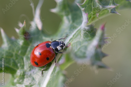 Fotografie, Obraz  ladybug on green leaf