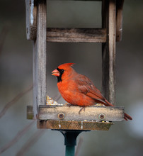 Vibrant Male Red Cardinal Eati...