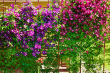 Purple Clematis Flowers Blooming On Shrub In Sunlight. Spring Garden In Blossom.