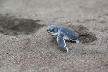 A Baby Green Turtle (Chelonia Mydas) Crawling To The Ocean On The Beach Beside A Foot Print In Costa Rica.