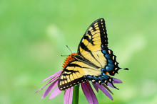 Yellow Eastern Tiger Swallowtail Butterfly With Spread Wings On Cone Flower On  Empty Light Green Space Background