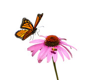 Monarch Butterfly Flying Over A Purple Coneflower  On White Background.  Also Has Flying Honey Bee On Flower