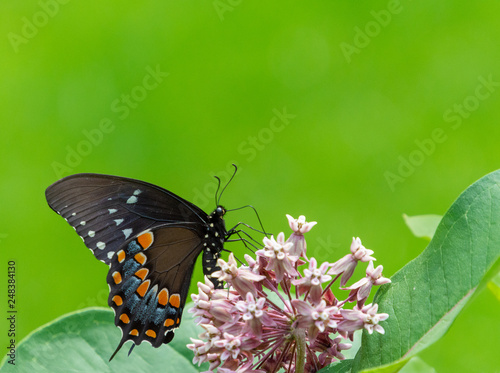Spicebush swallowtail butterfly feeding from a common milkweed plant with open green background space