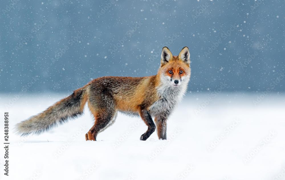 Fototapeta Fox (Vulpes vulpes)