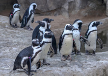 African Penguin (Spheniscus Demersus), Also Known As The Jackass Penguin Or Black-footed Penguin In Denver Zoo