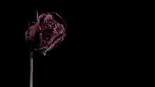Dried Red Rose On Black Background With Copy Space.