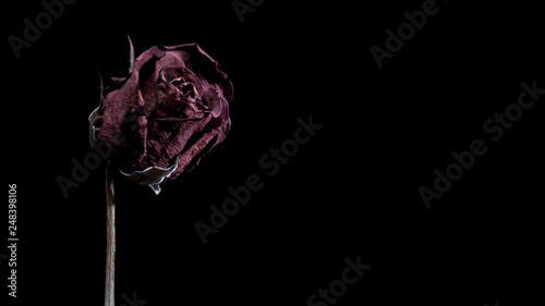 Photo  Dried red rose on black background with copy space.