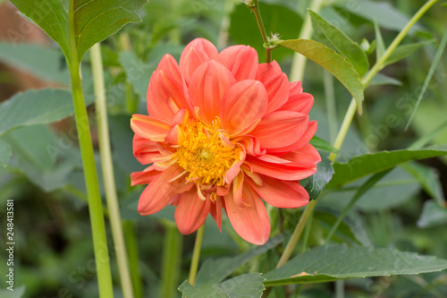 Carta da parati  Dahlia flower Pink, yellow and white fresh photo