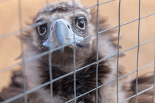 Portrait Of A Vulture Behind The Fence At The Zoo