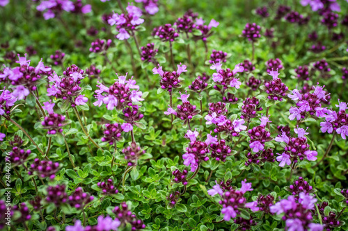 Fototapeta Blooming thyme (Thymus serpyllum). Close-up of pink flowers of wild thyme on stone as a background. Thyme ground cover plant for rock garden. obraz