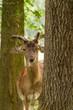 Damhirsch (Dama dama) zwischen Bäumen