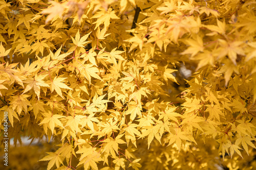 Acer Palmatum Red Wood Leaves With Autumn Colors Buy This Stock