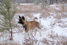 Small Dog Puppy American Akita...