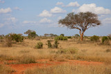 Fototapeta Sawanna - A big tree in the savannah between another plants