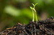 Seedling are growing in the soil ,Young plant in the morning light on nature background