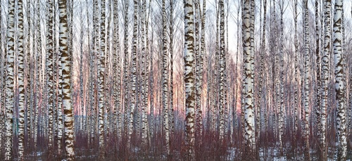 Photo White birch forest covered with white snow against beautiful sunset in winter
