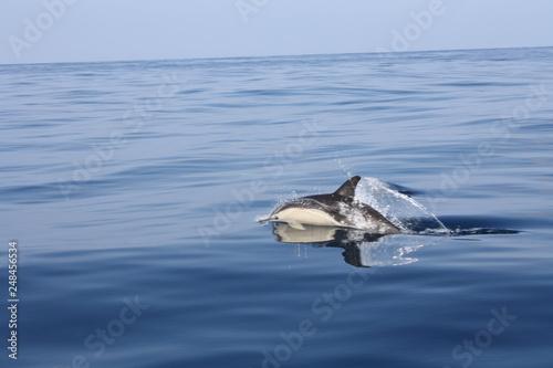 Plakat Wspólny delfin