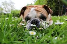 Beautiful English Bulldog Is L...