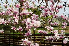 Blooming Magnolia In The Garden