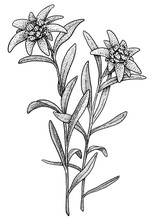 Edelweiss Illustration, Drawin...