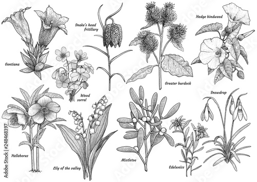 Fotografie, Obraz  Wildflower collection, illustration, drawing, engraving, ink, line art, vector