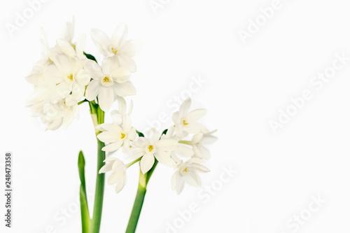 Fotografie, Obraz White wild narcissus on white background