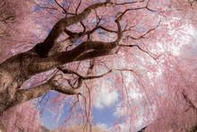 Cherry Blossom And Blue Sky In Takami No Sato, Nara, Japan.