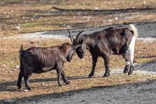 Close Up Of African Pygmy Goat (Capra Aegagrus Hircus)