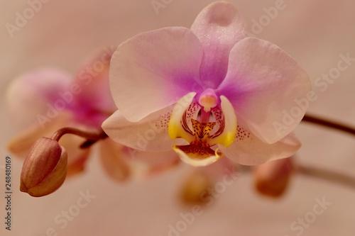 różowa orchidea na białym tle - 248480169