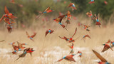 Fototapeta Sawanna - Southern carmine bee-eaters