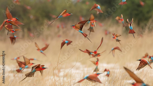 Fotografie, Obraz  Southern carmine bee-eaters