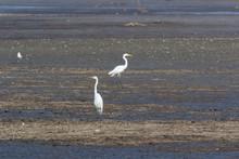 Great White Egret (Egretta Alb...