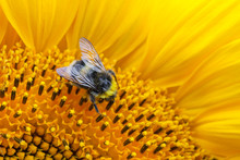 Close Up View On A Bumblebee, Collecting Nectar On The Sunflower With Copy Space (shallow Depth Of Field, Macro)