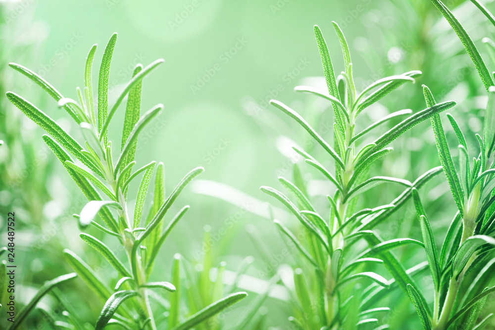 Fototapety, obrazy: Rosemary plant in the garden. Culinary aromatic herb.