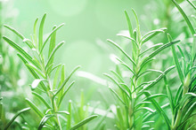 Rosemary Plant In The Garden. Culinary Aromatic Herb.